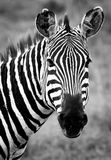 Zebras on african savannah. Black and white zebra on african savannah stock photo