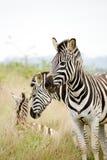 Zebras in Afrika Stock Fotografie