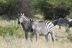 Zebras in Afrika Royalty-vrije Stock Fotografie