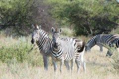 Zebras in Afrika Stock Afbeelding