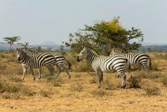 Zebras in Afrika Lizenzfreie Stockfotografie