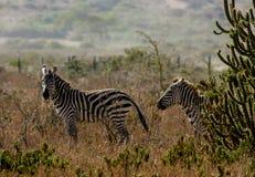 Zebras in Afrika Lizenzfreies Stockfoto