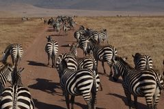 Zebras along the street in Ngorongoro Park, Tanzania stock images