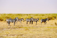 Zebras, Amboseli Στοκ Εικόνες