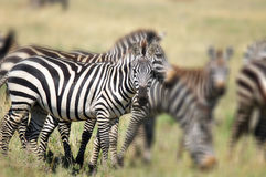 Zebras. At Amboseli National Park, formerly Maasai Amboseli Game Reserve, is in Kajiado District, Rift Valley Province in Kenya. The ecosystem that spreads royalty free stock photo