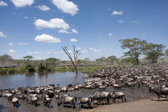 Zebras And Wildebeest At The Serengeti Royalty Free Stock Image