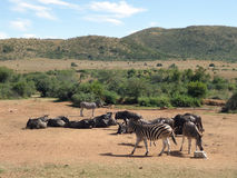 Zebras and Antelopes in Southafrica Royalty Free Stock Photography
