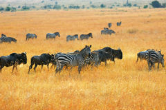 Zebras and antelopes wildebeest in the savannah Stock Photography