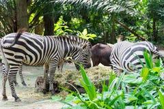 Zebras ao comer Fotos de Stock