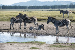 Zebras around watering hole Royalty Free Stock Photography