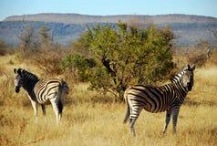 Zebras auf afrikanischem Wildgehege Stockfotografie