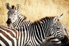 Zebras auf Uhr in Afrika Stockbild
