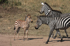 Zebras and baby Stock Images