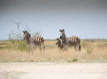 Zebras and baby Royalty Free Stock Image