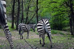 Black and white Zebra in zoo, France Stock Photography