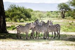 Zebras in Baobabs Schaduw Stock Afbeeldingen