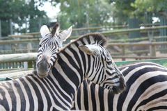 Zebras at Basel Zoo Royalty Free Stock Photography