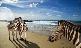 Zebras on the beach. Zebras standing on the beach in a surrealistic image Stock Images