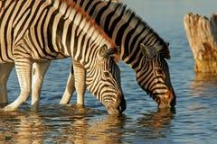 Zebras bebendo Fotos de Stock Royalty Free