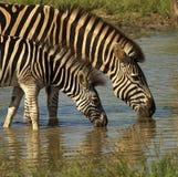 Zebras bebendo Imagem de Stock