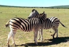 Zebras bei Addo Lizenzfreie Stockfotografie