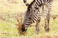 Zebras bending down to eat a dry flower Royalty Free Stock Image