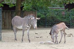 Zebras at the Berlin zoo. A Zebra with its puppy at the Berlin zoo Stock Photo