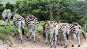Zebras in Bewegung Lizenzfreies Stockbild