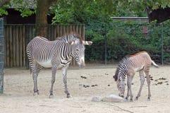 Zebras bij de dierentuin van Berlijn Stock Foto