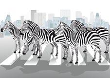 Zebras bij de voetgangersoversteekplaats Stock Afbeeldingen