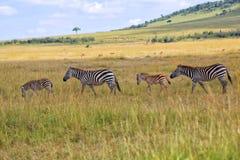 Zebras bij het masaimara nationale park Stock Fotografie