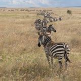 Zebras bij het Nationale Park Serengeti Royalty-vrije Stock Afbeeldingen