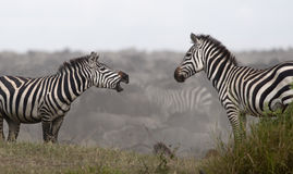 Zebras bij het Nationale Park Serengeti Stock Afbeeldingen