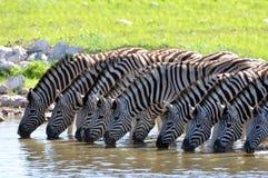 Zebras bij waterhole Stock Foto's