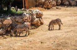 Zebras in Bijbelse Dierentuin in Jeruzalem, Israël royalty-vrije stock afbeeldingen
