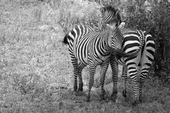 Zebras Black and White Cuddling. Stock Images