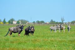 "Zebras and blue wildebeest in the steppe in the Falz-Fein Biosphere Reserve ""Askania Nova"", Ukraine. stock photography"