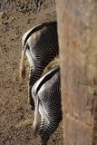 Zebras bottoms two of them. This picture is of two Zebras back ends showing their back legs and tails royalty free stock photos