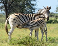 Zebras breast-feeding Stock Images