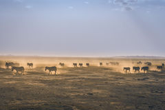Zebras on Brown Field during Daytime Stock Photos