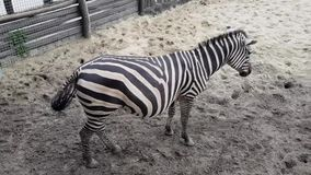 Zebras in the Budapest Zoo. Hungary stock video footage