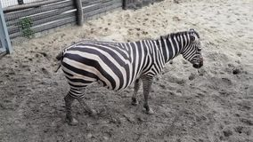 Zebras in the Budapest Zoo. Hungary stock footage