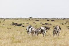 Zebras and Buffalos in Kenya Royalty Free Stock Image