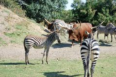 Zebras and buffalos are resting in the wild Africa safari royalty free stock photos