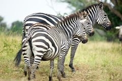 Zebras (burchelli do Equus) Foto de Stock Royalty Free