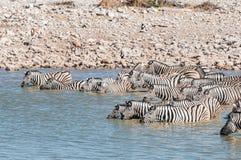Zebras Burchells που στέκονται σε ένα waterhole που πίνει Στοκ Εικόνες