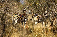 Zebras in the bush Stock Images