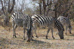 Zebras in the bush. Stock Photos