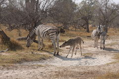 Zebras in the bush. Royalty Free Stock Photography