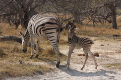 Zebras in the bush. Royalty Free Stock Photo